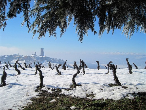 Winter in Piedmont, old Barbaresco Vines