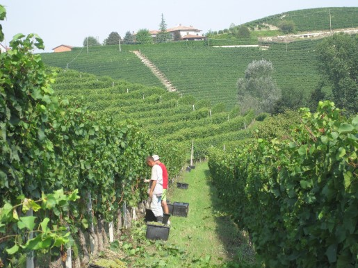 Barbaresco 2012 Harvest