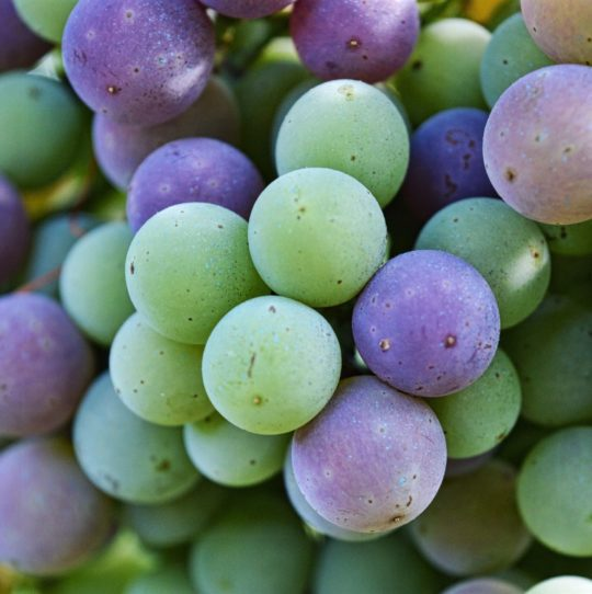 Verasion Nebbiolo Grape
