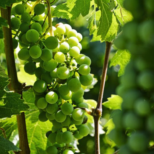 What is Nebbiolo Wine