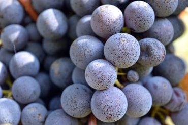 Nebbiolo Grape