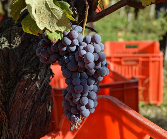 2015 Barbaresco Harvest