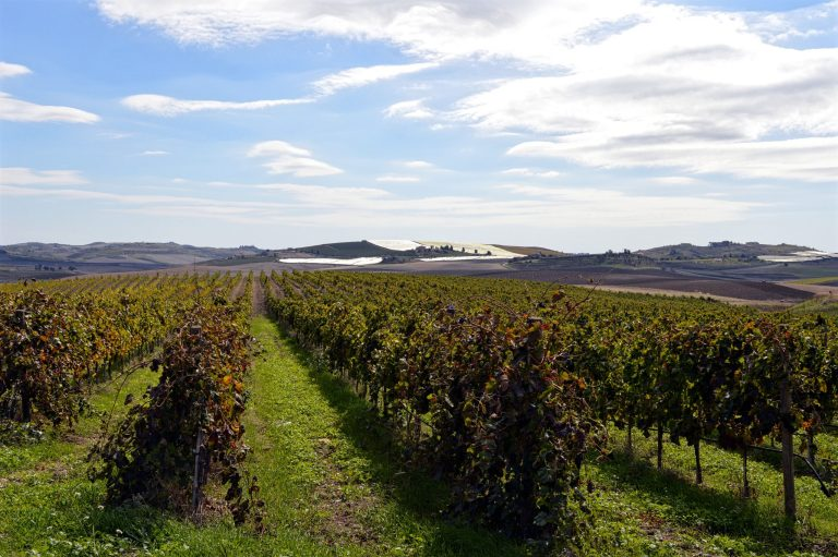 wine grapes in sicily