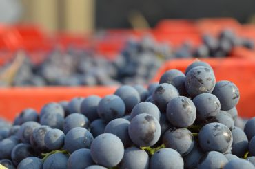 Barolo 2106 Harvest