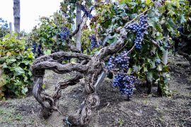 vine training etna