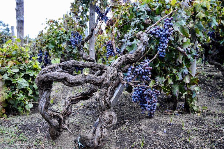 vine training etna